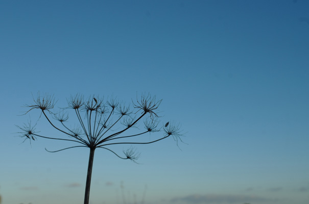 Queen Anne's Lace seed head, with a blue winter sky
