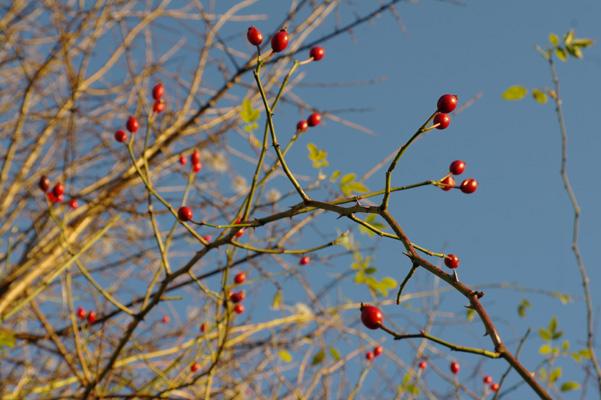 Rosehips in winter sunlight