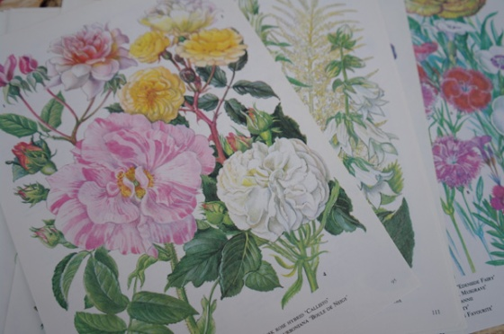 Old flower illustrations, botanical illustrations.