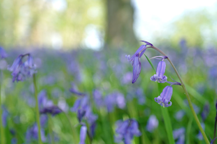 Bluebells close-up, the Bluebell Woods, Pamphill, Dorset, UK