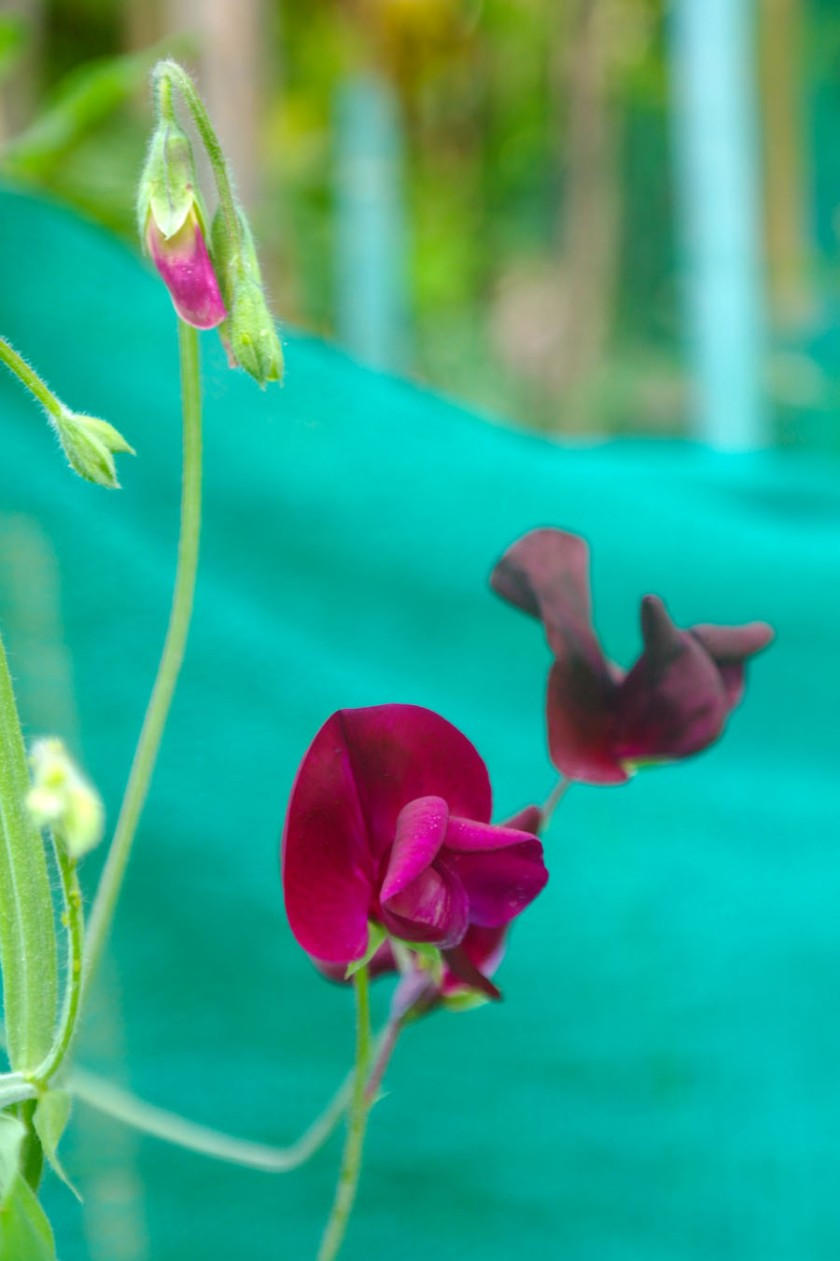 Sweet Pea flowering in late august.