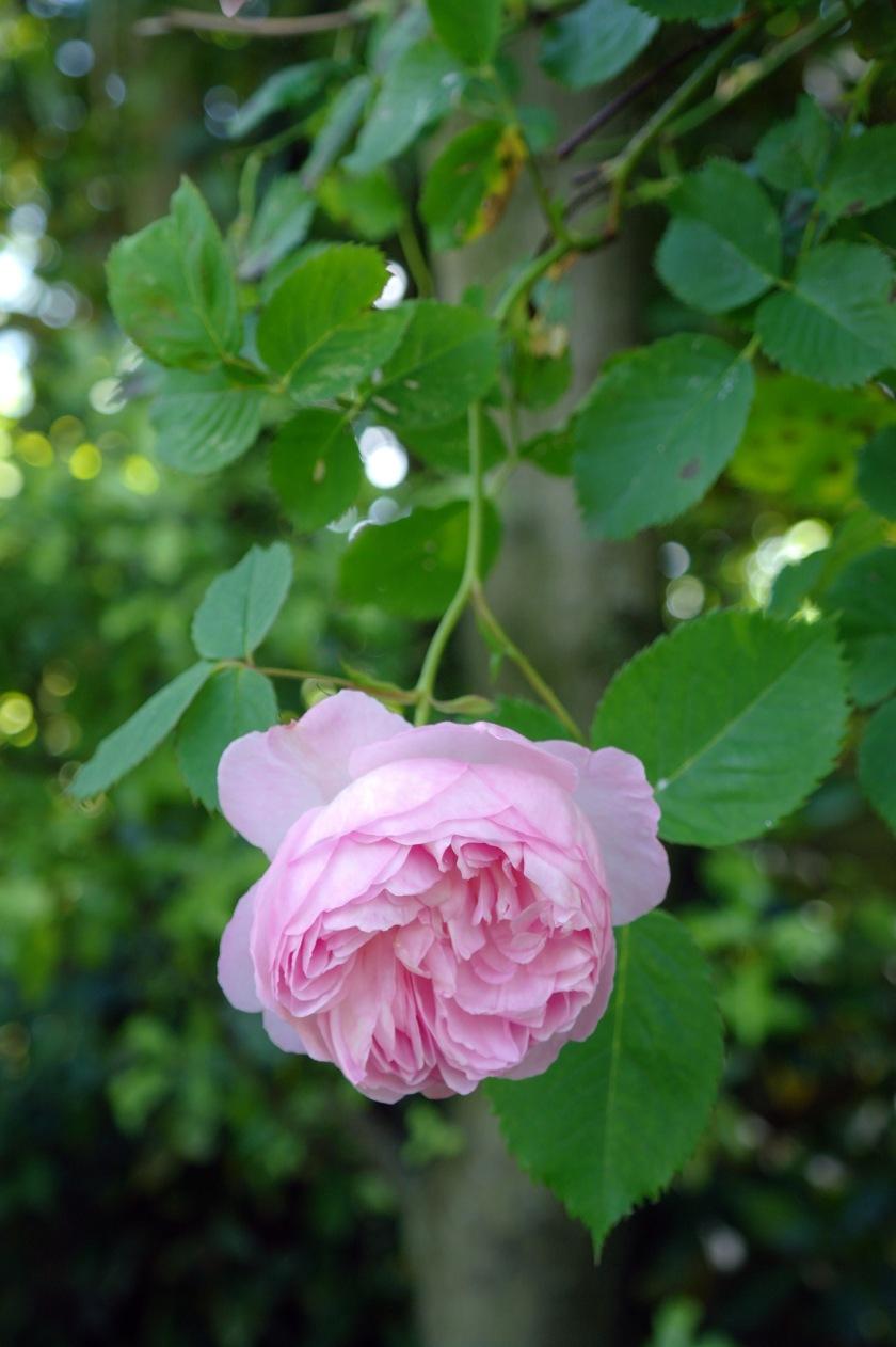 Mayor of Casterbridge rose in bloom.