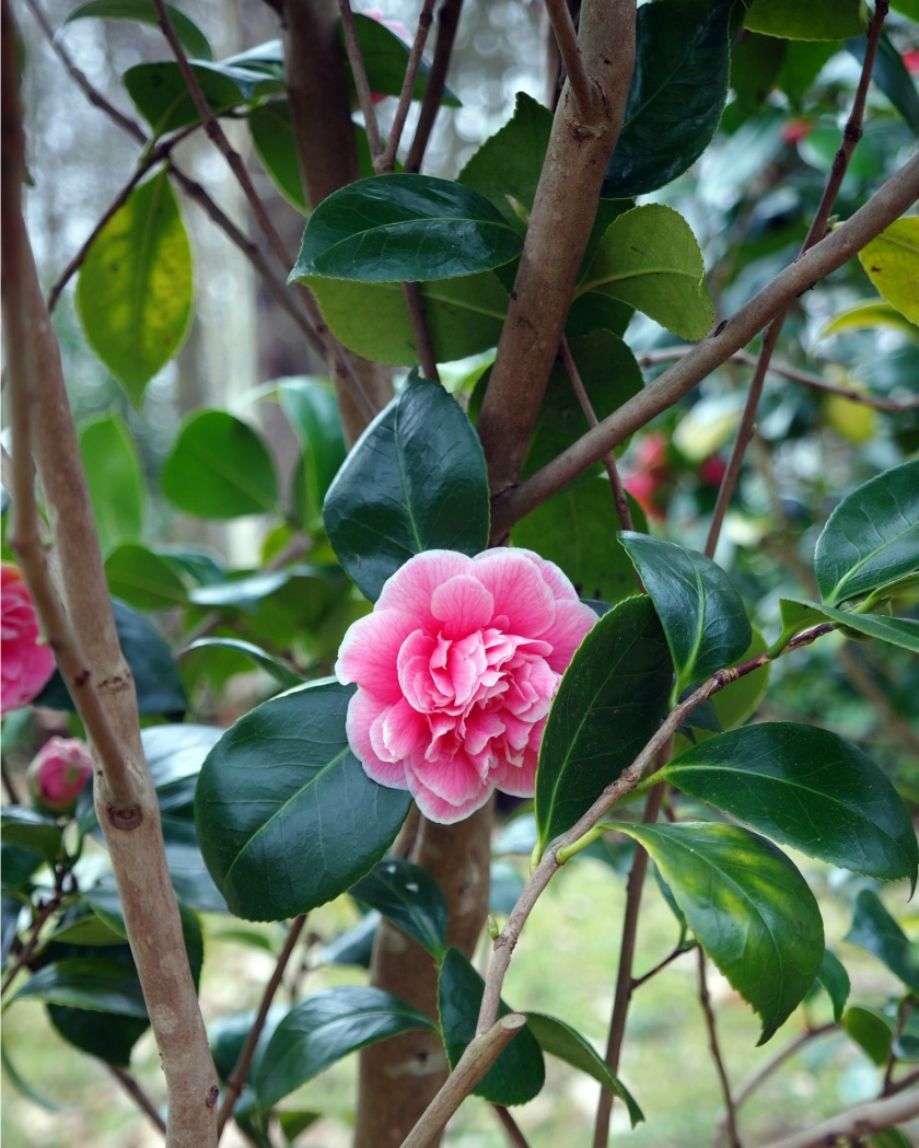 PinkCamelliaKingstonLacy