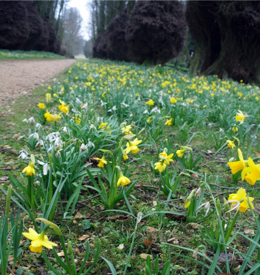 Daffodils in March. Avenue of daffodils and snowdrops in the gardens at Kingston Lacy, Dorset.