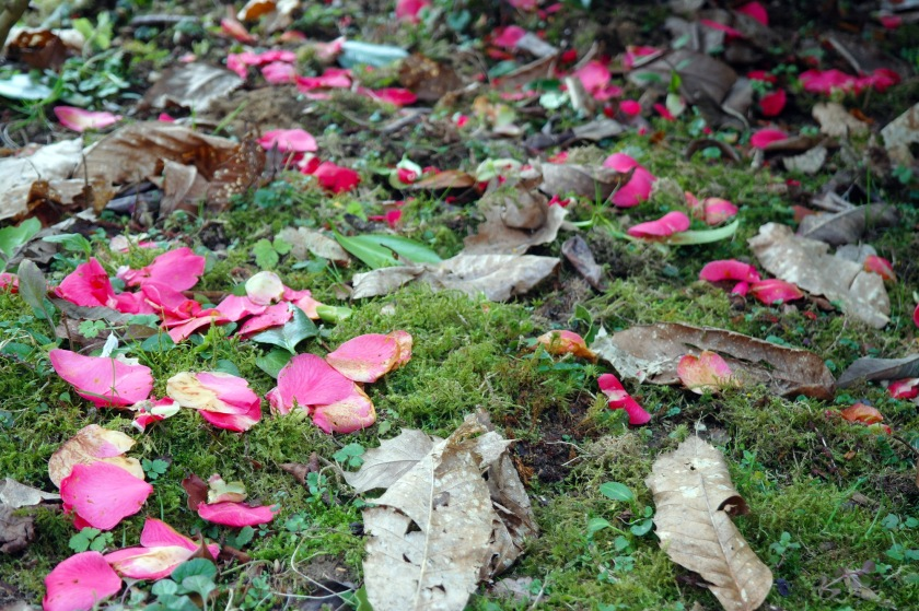 A carpet of pink petals on the ground at Kingston Lacy. Forest floor covered in pink petals.