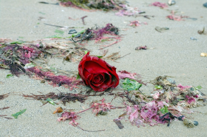 Rose washed up on the beach, Swanage, Dorset. Sea rose. Red rose on the sand. Beach finds.